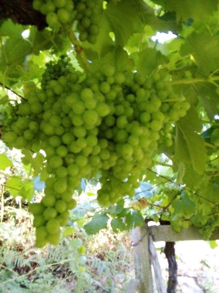 Uvas blancas madurando