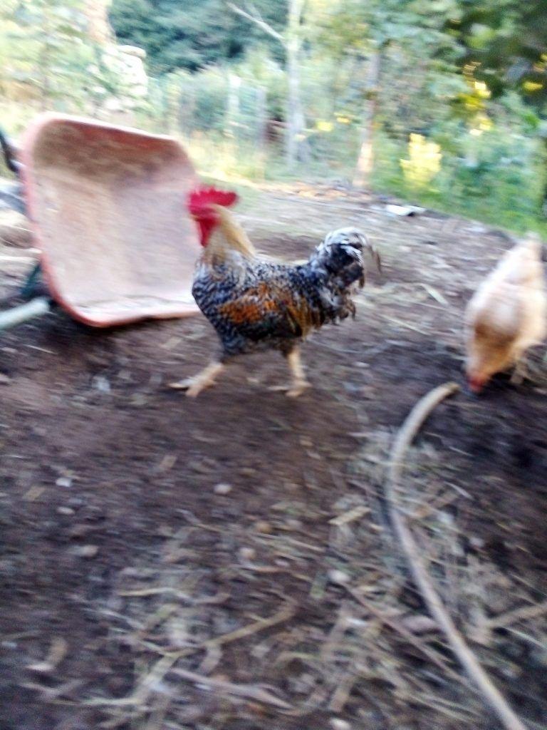 El gallo que cuida de nuestros huevos