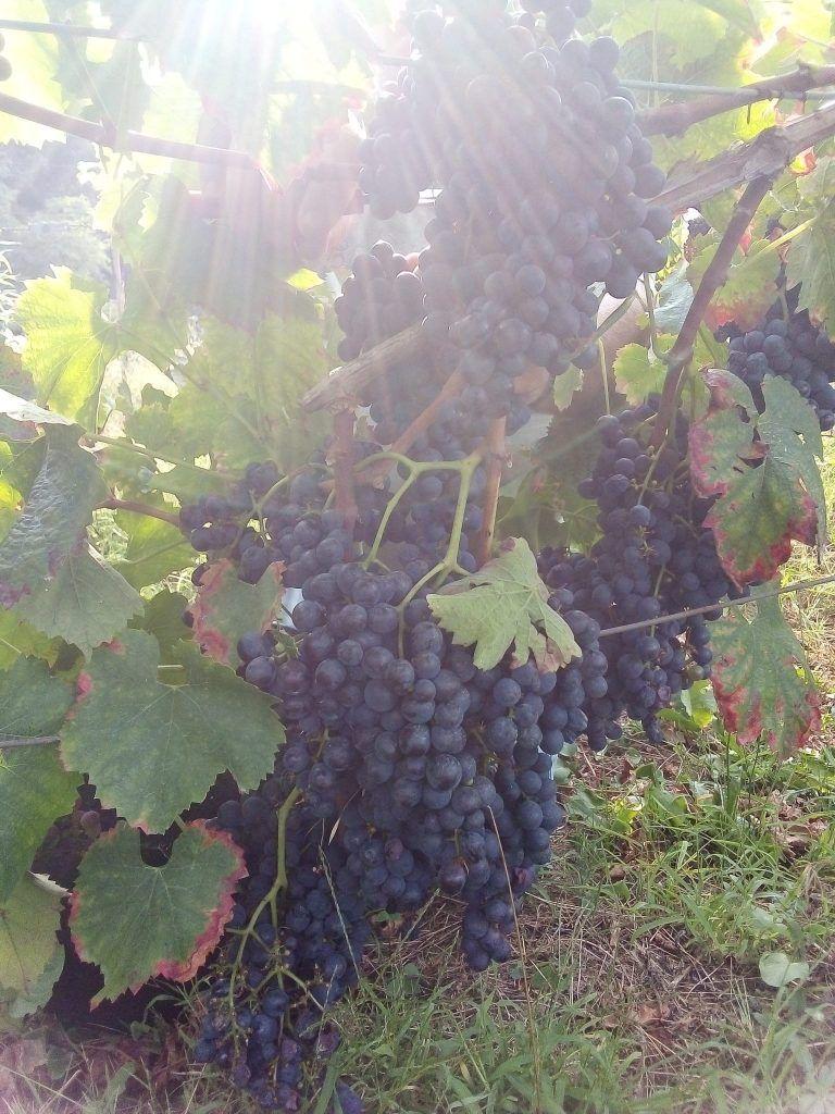 Uvas tintas recogidas en nuestras vides