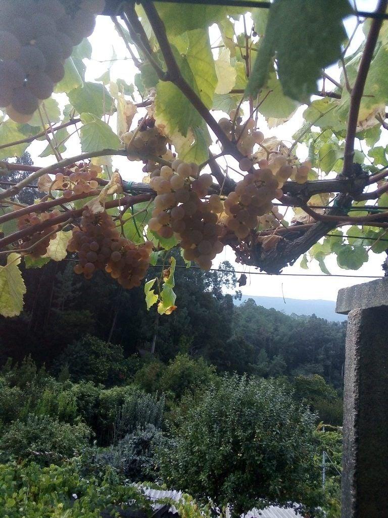 Más uvas blancas