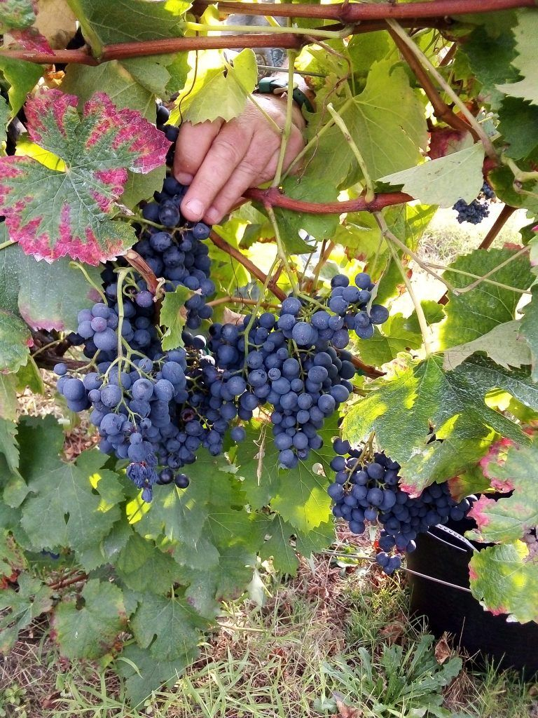 Vencimiando las uvas para nuestro vino